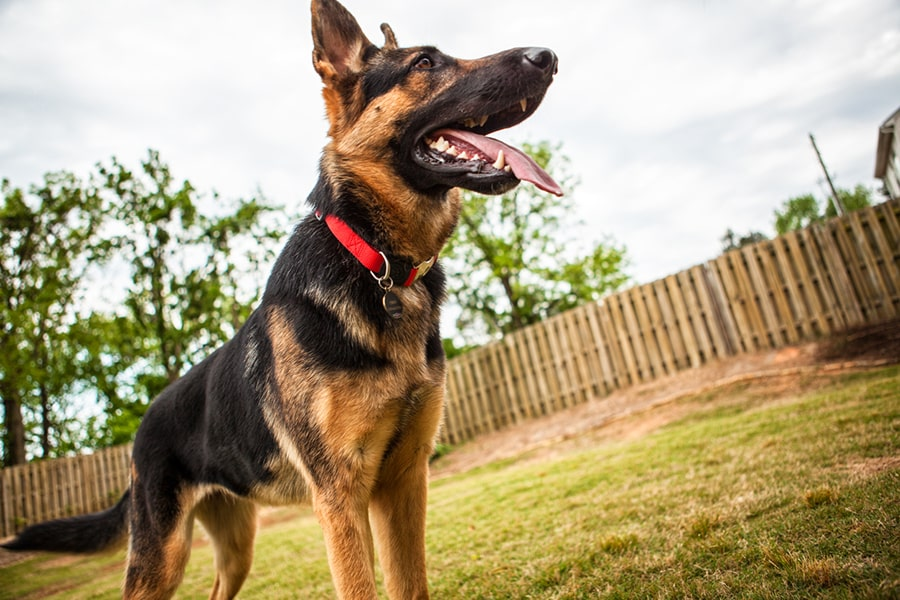 german shepherd with a red collard standing in a fenced in yard