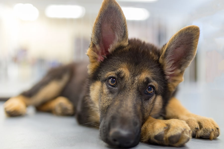 young german shepherd puppy lying on the floor with ears up