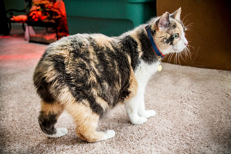 calico manx cat next to a scratching pad on a carpeted living room floor