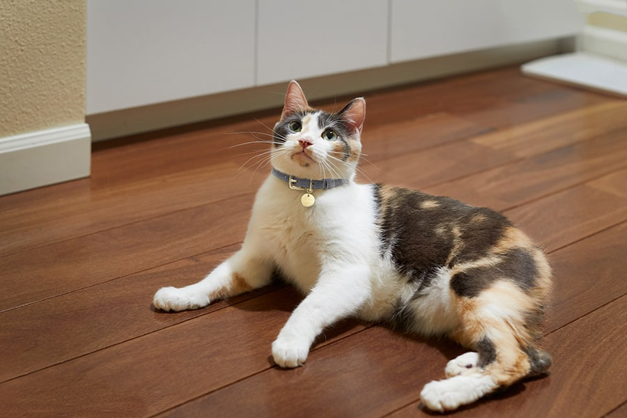 calico manx cat resting on a wooden kitchen floor