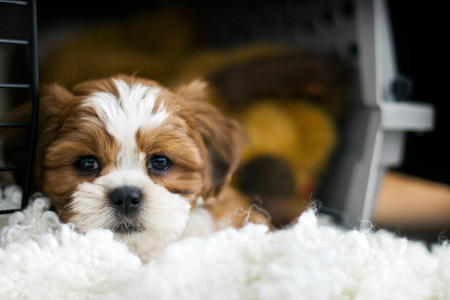 brown and white bichon shih tzu puppy resting in his crate with the door open