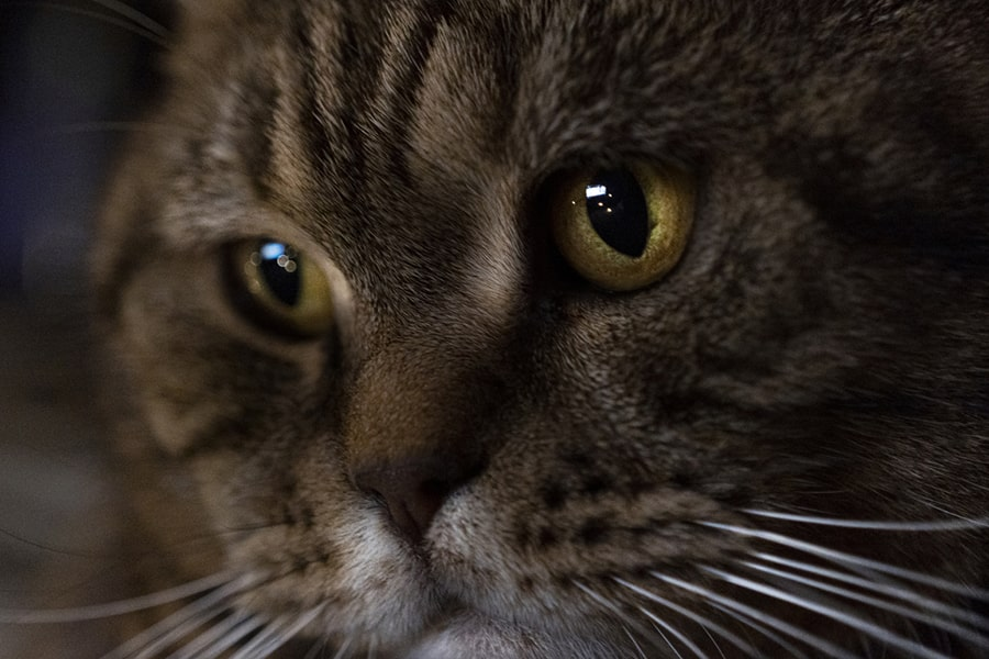close-up of brown tabby cat with yellow eyes