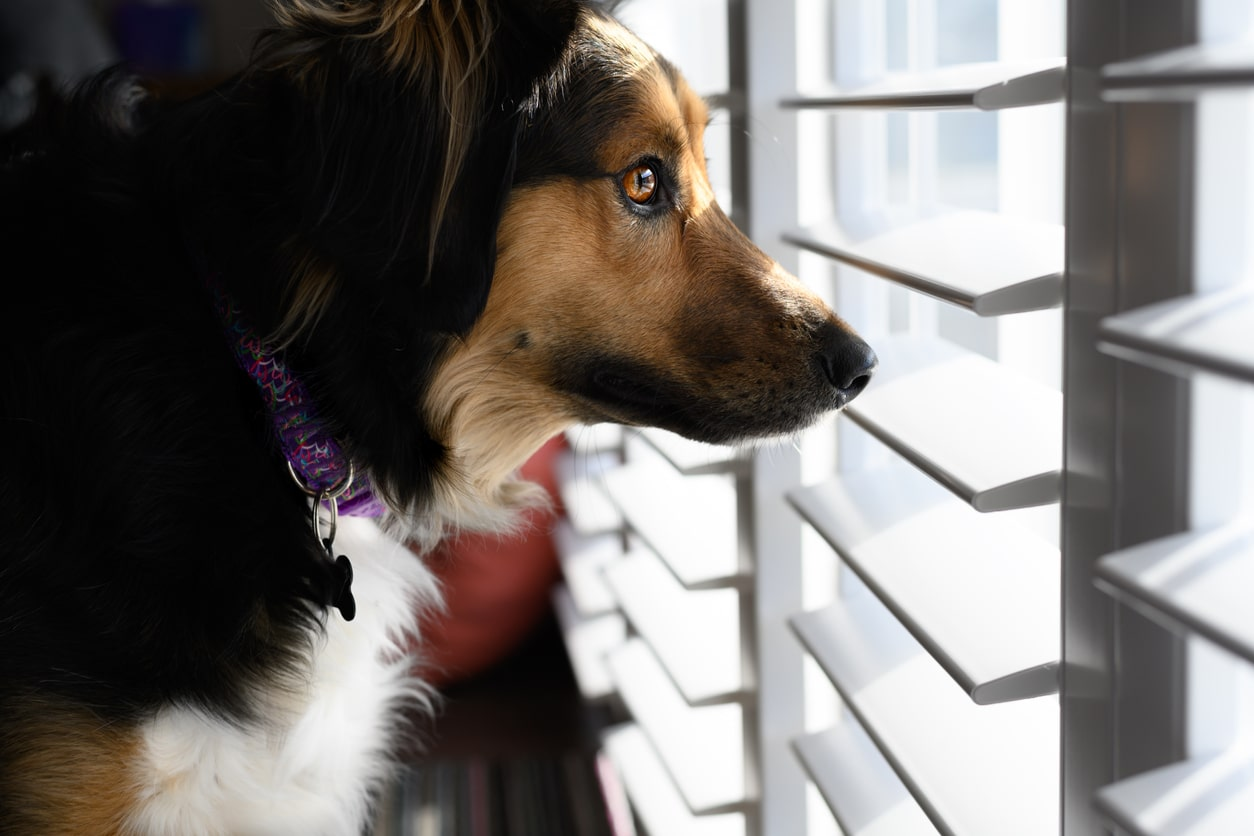 curious shepherd mix with a purple collar looking out a window