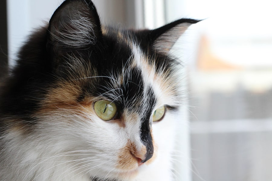 calico domestic longhair cat with green eyes looking out a window