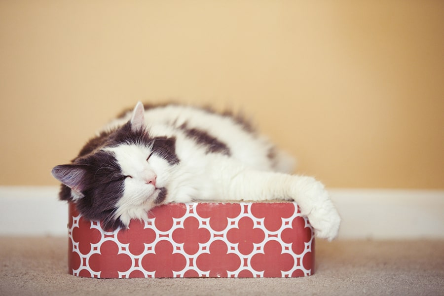 gray and white domestic longhair cat sleeping on a red and white scratcher bed box