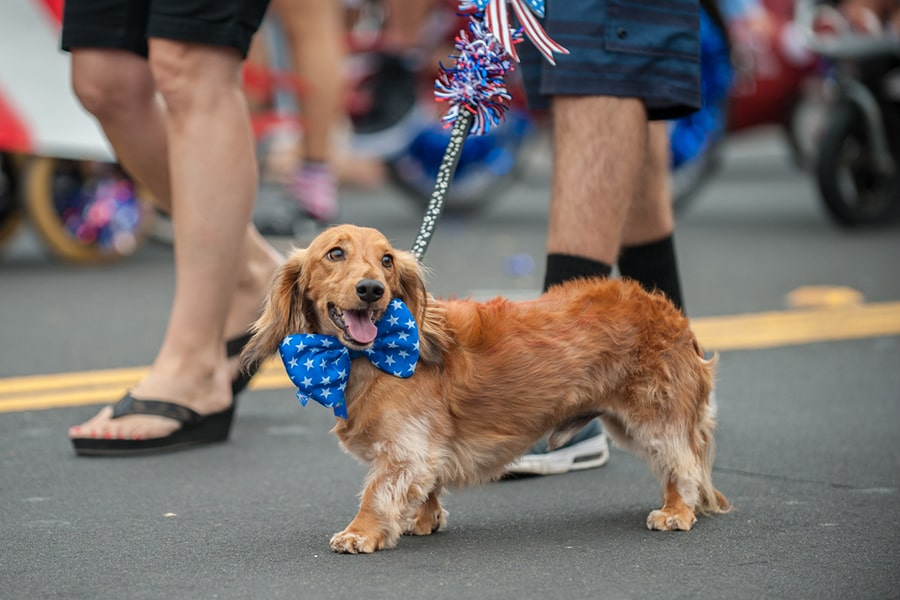 dachshund walking in a fourth of July parade with a blue bowtie with white stars around his neck