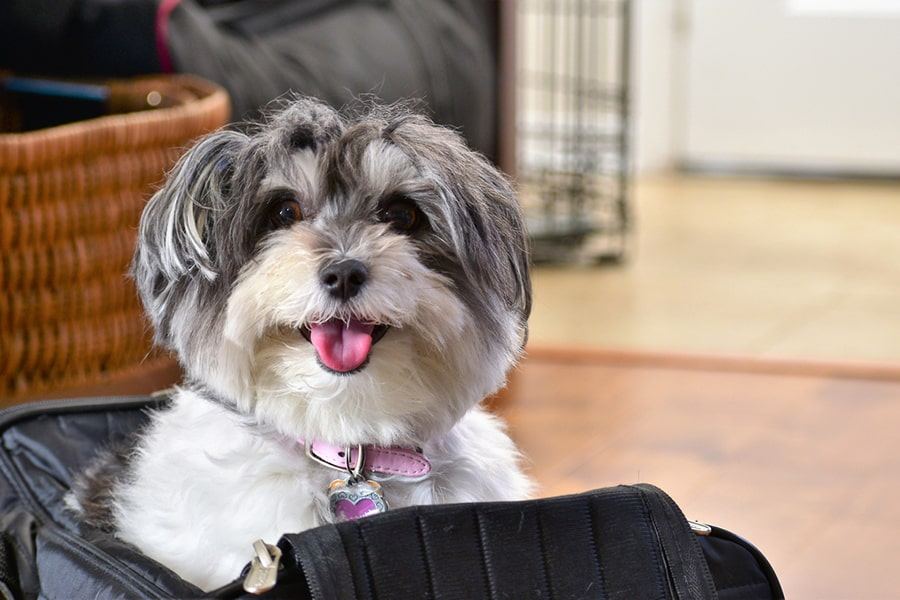 happy gray and white havanese dog with a pink collar and tag popping out of a soft black pet travel carrier