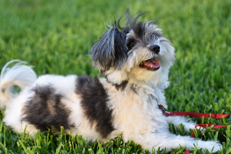 smiling gray and white havanese dog with a short haircut on a red leash outside