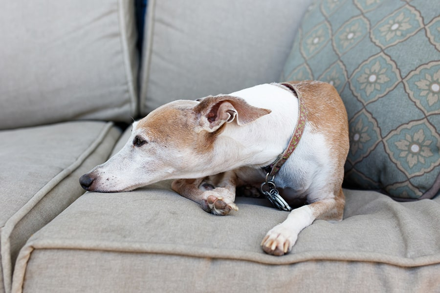 brown and white Italian greyhound in a brown collar resting on a gray couchawn colored Italian greyhound lying atop a blue and tan dog bed with a brown teddy bear