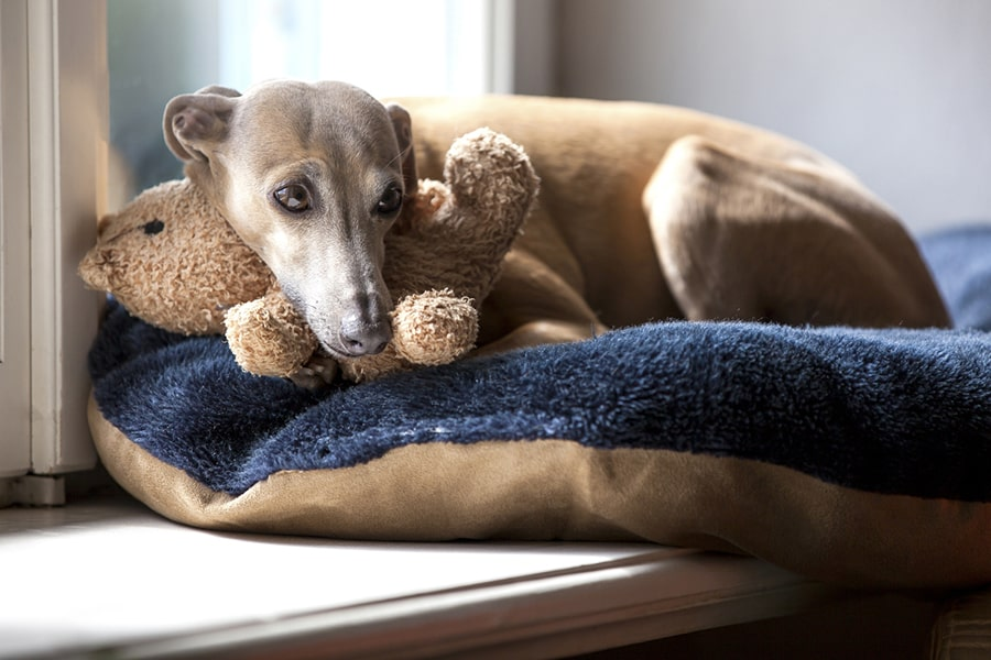 fawn colored Italian greyhound lying atop a blue and tan dog bed with a brown teddy bear