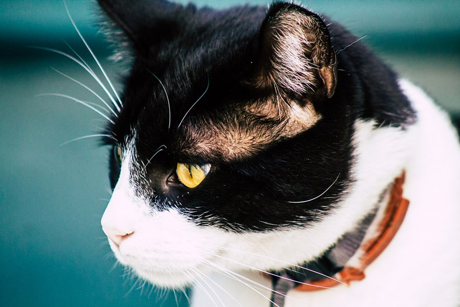black and white cyprus cat with yellow eyes and a brownish red collar
