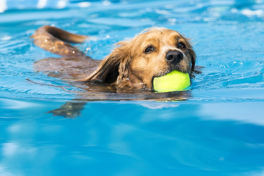 golden retriever swimming in a pool with a tennis ball in her mouth