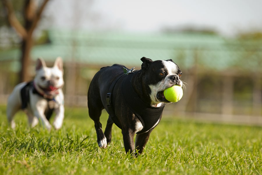 two French bulldogs playing with a ball at a fenced in park