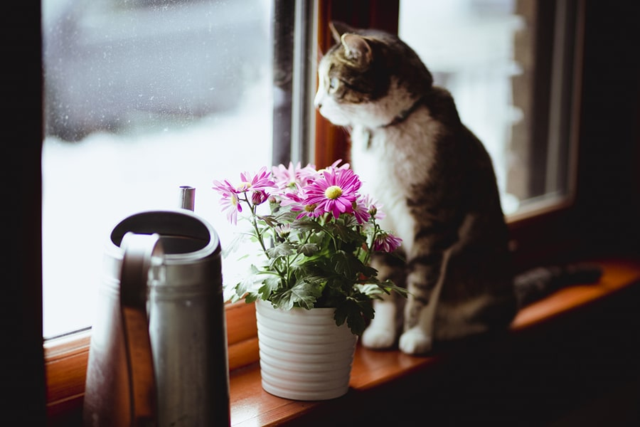 cat sitting on a windowsill next to pink daisies