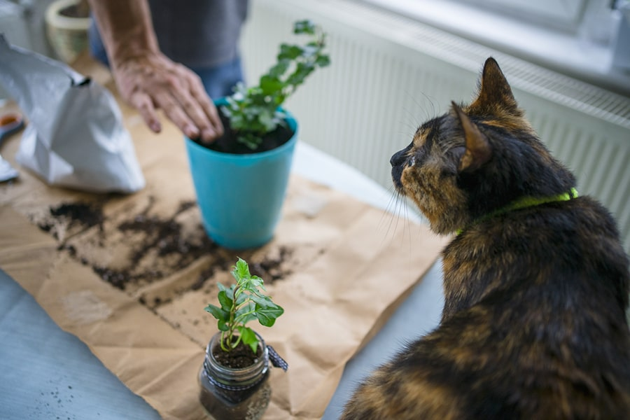 tortoiseshell cat with a neon yellow collar watching someone pot a plant