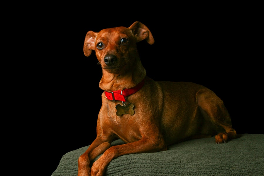 stag red miniature pinscher with a red collar and gold tag resting atop a green cushion with a black background