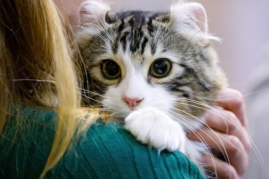 American curl cat being held by a woman in a green sweater