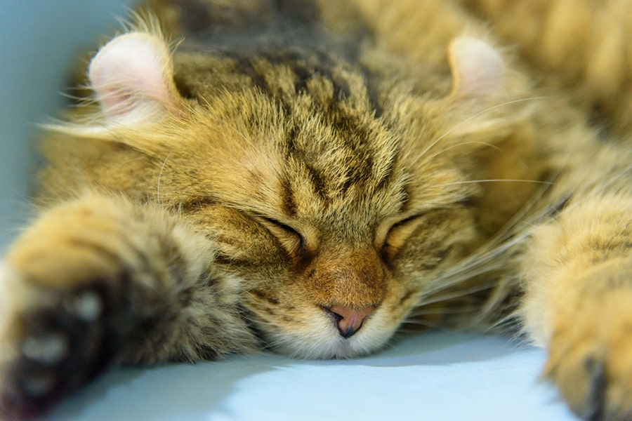 American curl cat napping on a blue blanket
