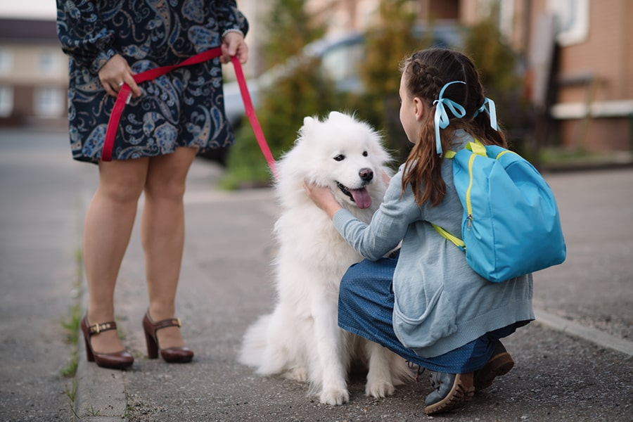 Samoyed dog on a red leash being petted by a young girl with pigtails