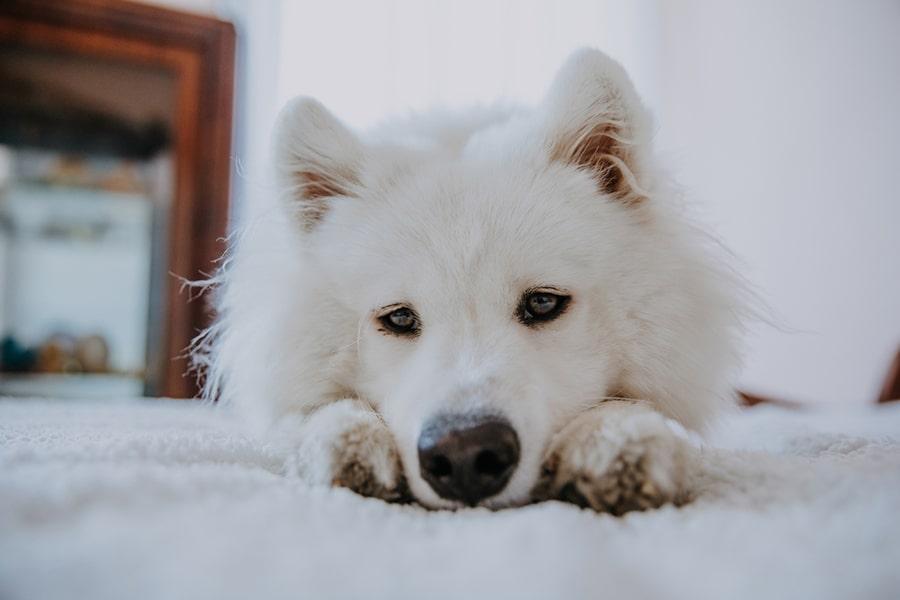 Samoyed dog resting on a white fluffy blanket at home