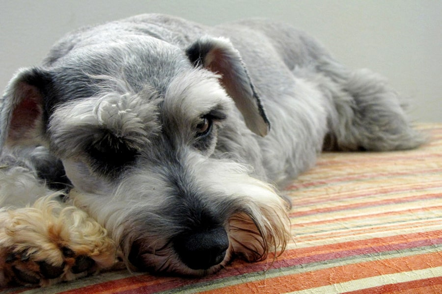 miniature gray schnauzer resting on an orange red and green striped pillow