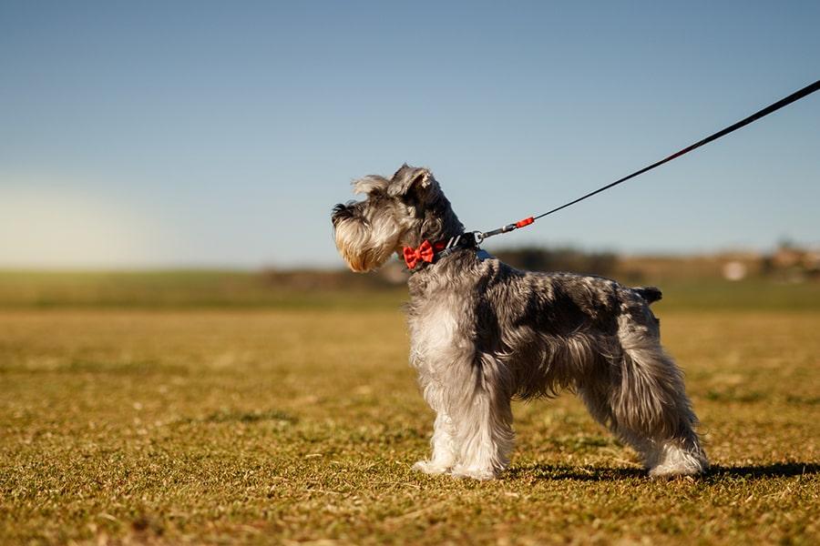 miniature gray schnauzer wearing a red bowtie on a black leash in an open field