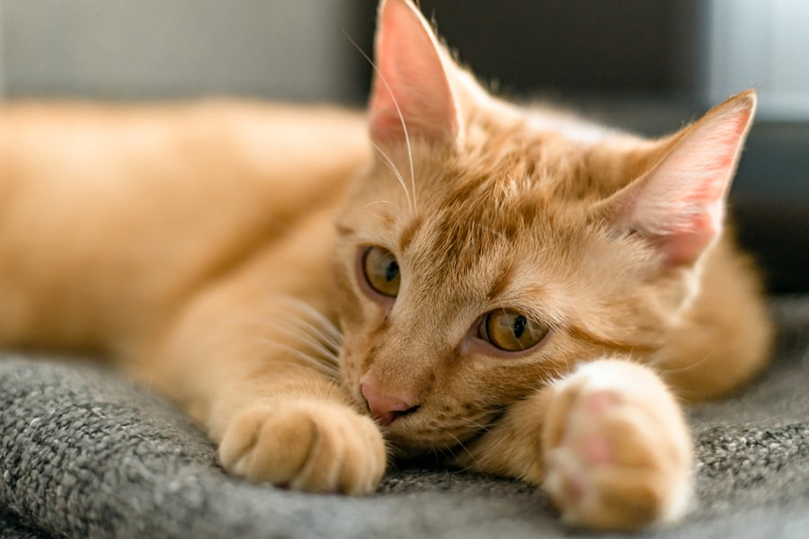 ginger tabby cat lying on a gray couch cushion