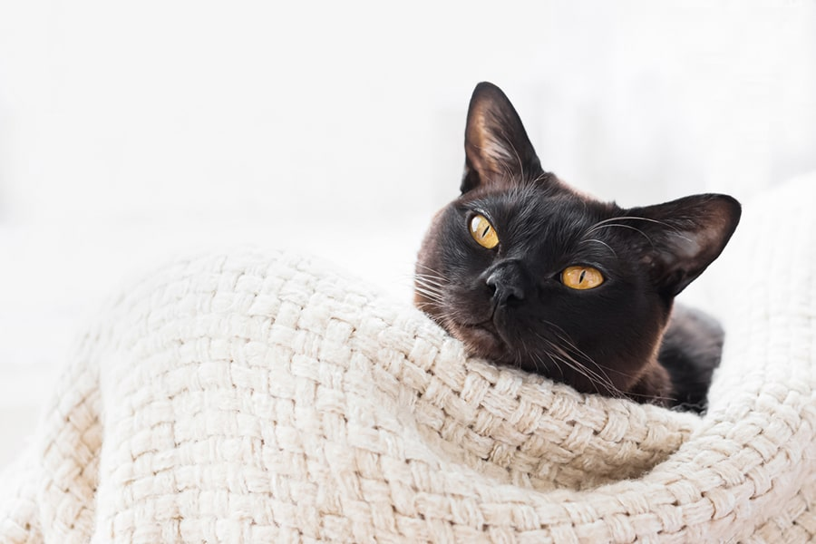 Burmese cat lying in a basket atop a cream-colored blanket