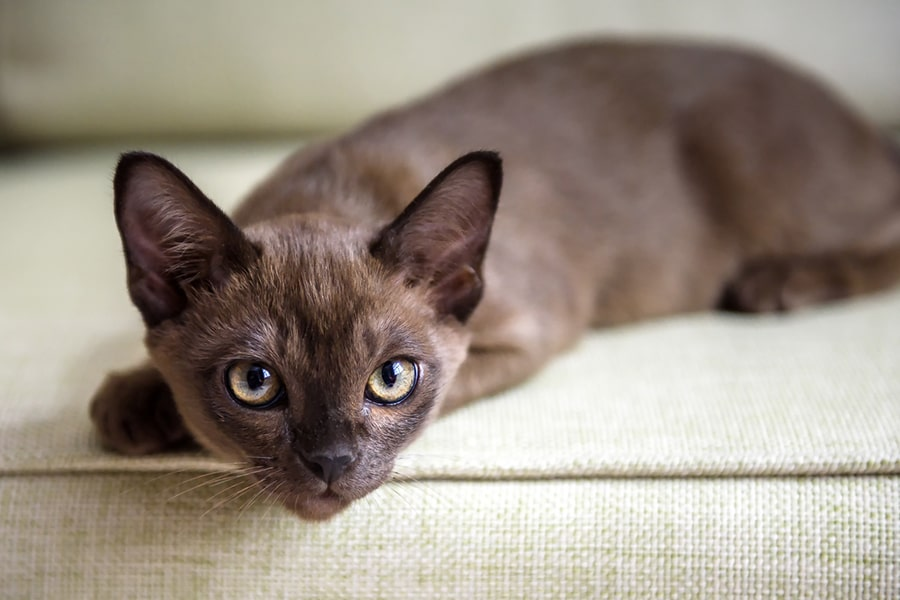 brown Burmese kitten lying on a cream couch