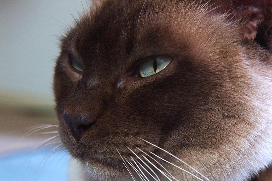 chunky chocolate Burmese cat