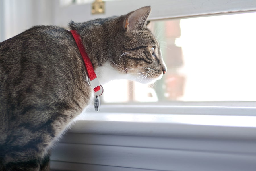 tabby cat with a red collar looking out a window