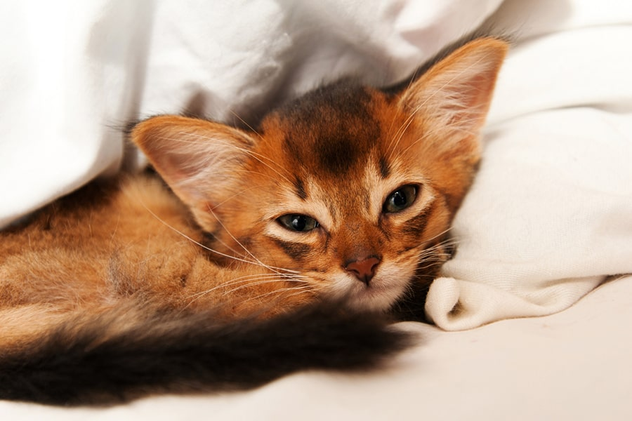 cute small somali kitten resting on a white blanket