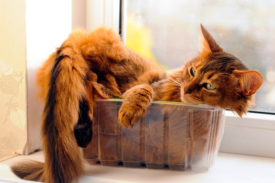 fluffy red somali cat resting in a clear plastic container