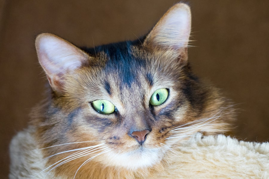 red fluffy somali cat with bright green eyes