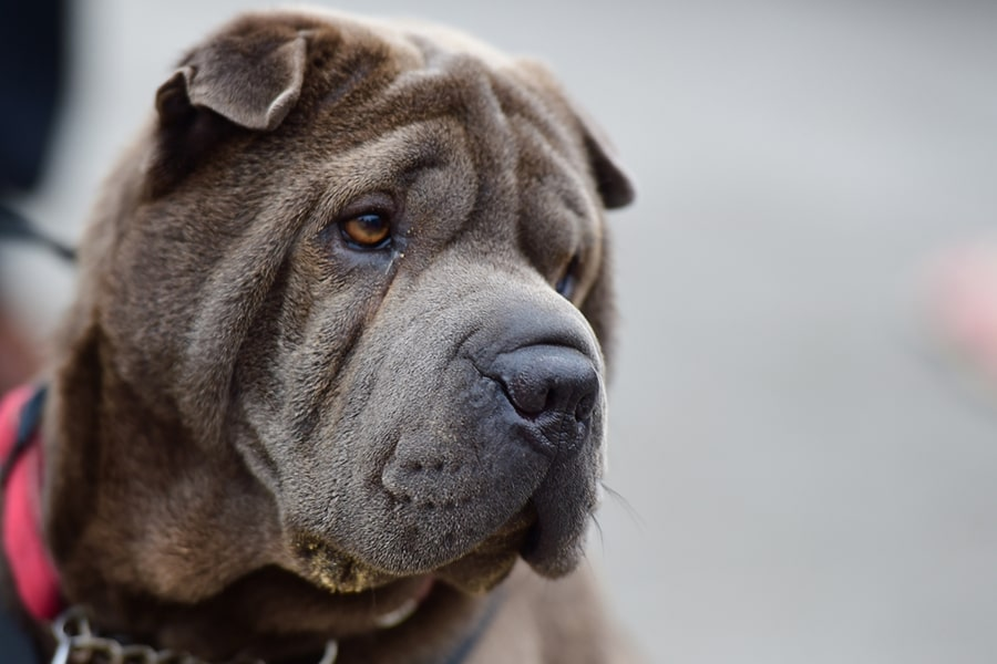 shar-pei dog with a red collar on a black leash