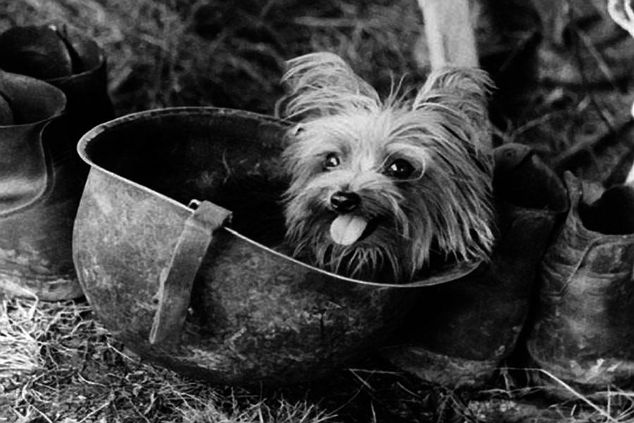 Smoky the Yorkshire Terrier – a World War II hero