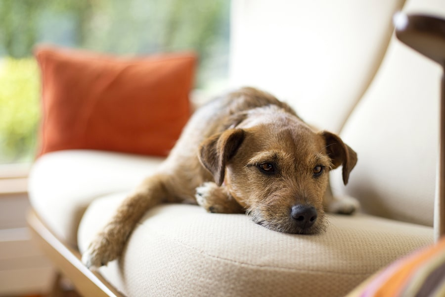 brown dog lying on a cream couch with orange pillows