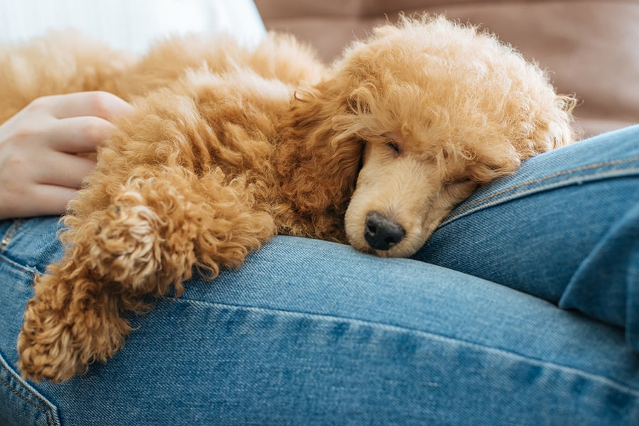 miniature poodle resting in a girls lap