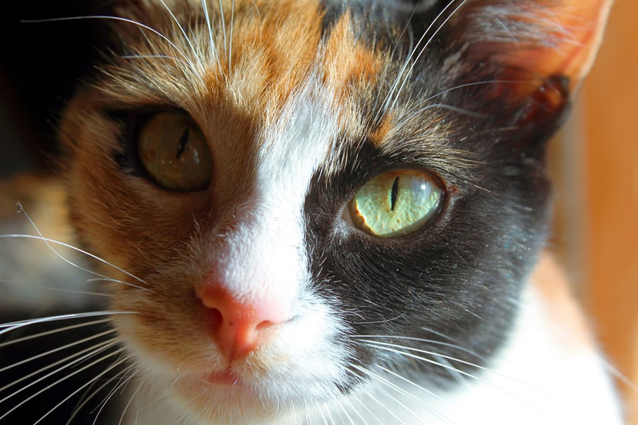 calico Aegean cat with green eyes