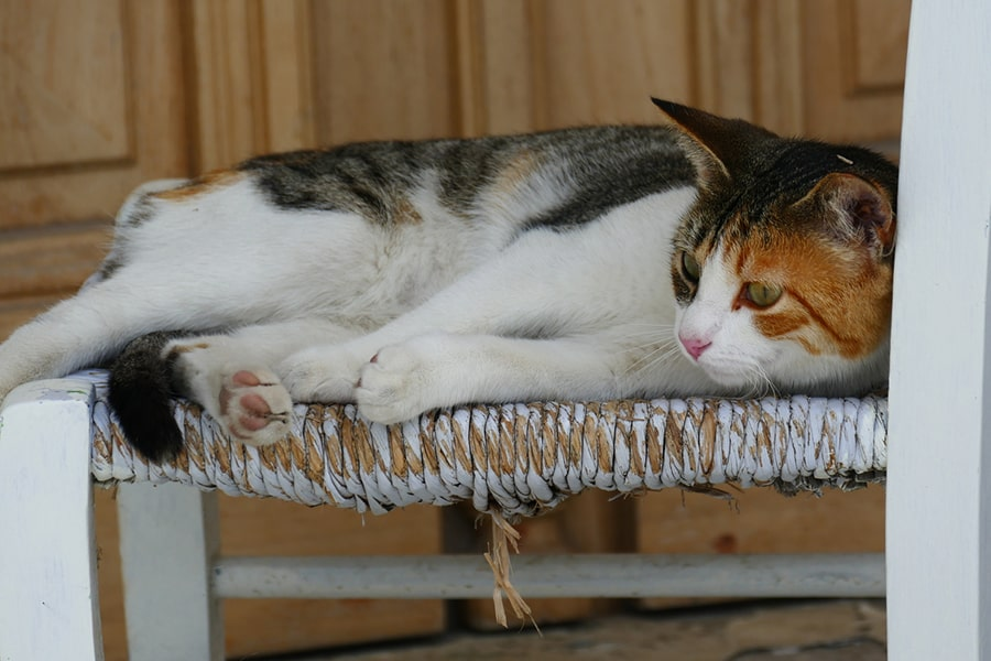 gray Aegean cat napping on a burnt orange cushion next to a leaf-printed curtain