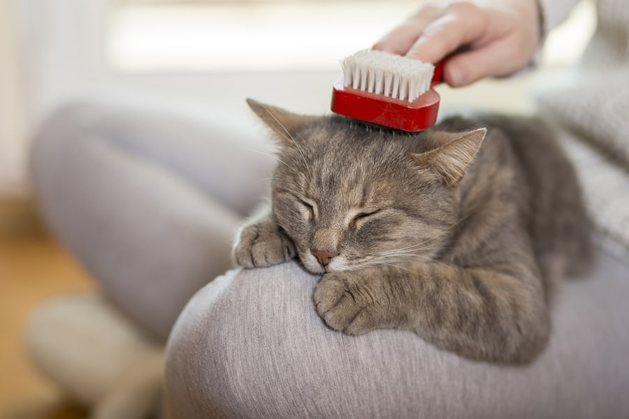 gray tabby cat being brushed on the lap of a woman in gray leggings