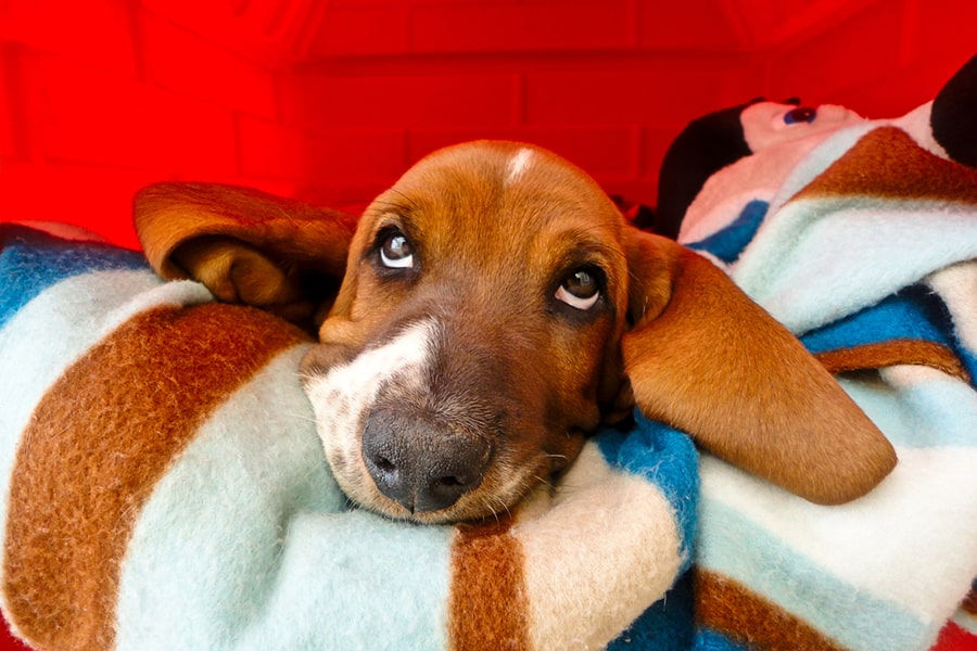 young basset hound resting on a brown teal white and blue striped blanket against a red wall