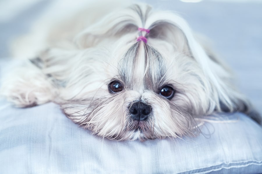 white and gray shih tzu resting on a pillow with a pink hair tie holding back her bangs