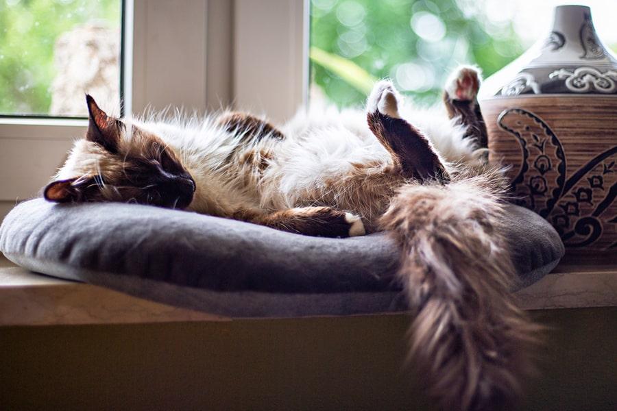 Birman cat resting on her back on a window sill