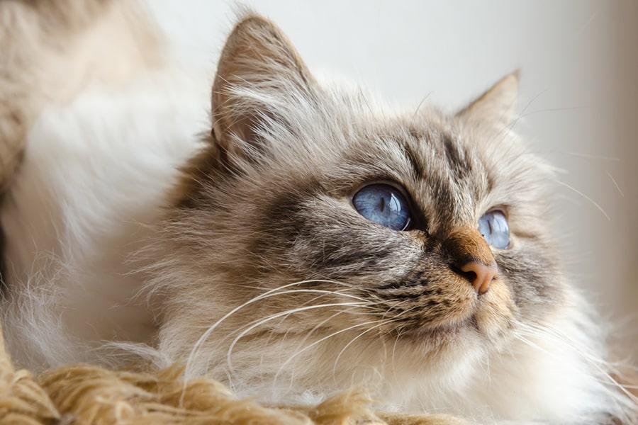 Birman cat with blue eyes looking upwards