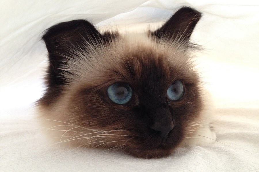 birman cat resting under a white bed sheet