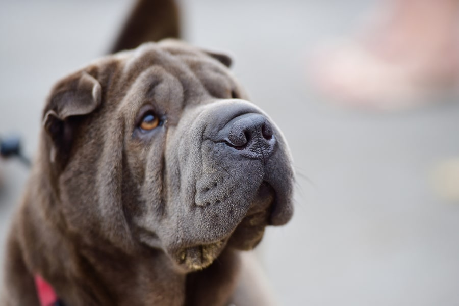 dark gray shar-pei dog with light brown eyes and black harness