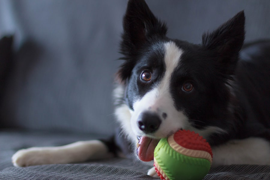 border collie smiling on a gray sofa while chewing a pink and green ball