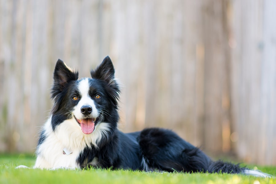 border lying down and smiling at home in the yard with a wooden fence