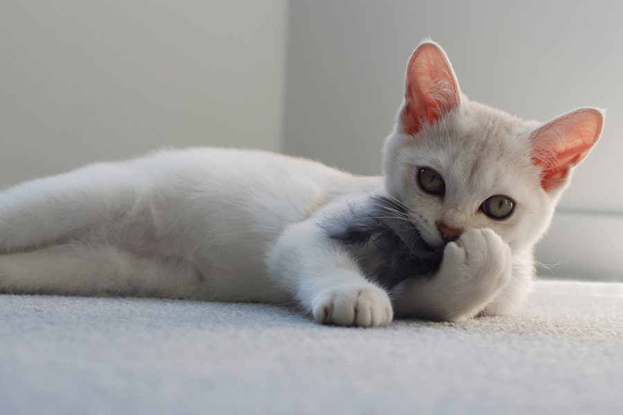 white Burmilla cat lying on the floor playing with a gray toy mouse